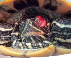 Травма глаза у красноухой черепахи